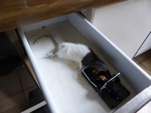 P1050506 Ratte Schlagfalle
